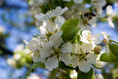 Pear flower with bee — Stock Photo