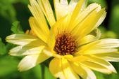 Calendula Flower (Calendula officianalis) — Stock Photo