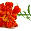 Beautiful carnation — Stock Photo