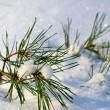 Stock Photo: Pine tree branches covered with snow