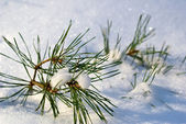 Pine tree branches covered with snow — Stock Photo