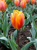 "The Tulip ""Princess Irene"" — Stock Photo"