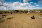 Goats on the steppes — Stock Photo