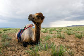 The Camel — Stock Photo
