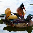 Mandarin duck couple - Stock Photo