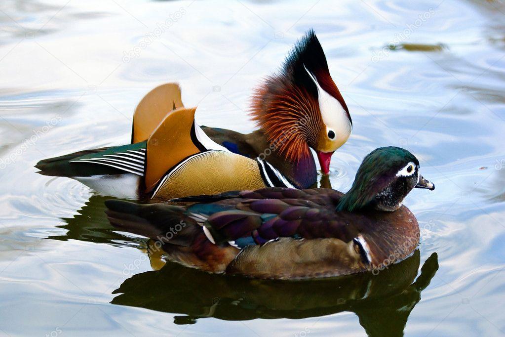 一对夫妇的求爱的普通话鸭子在池塘里