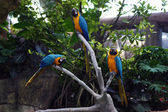 3 Colorful Macaws — Stock Photo