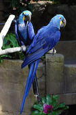 Blue Macaws — Stock Photo