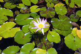 Single Water Lily — Stock Photo