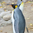 King Penguins — Stock Photo #7292151