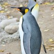 Stock Photo: King Penguins