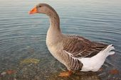 Goose on Lake Shore — Stock Photo