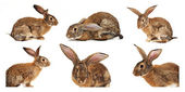 Six rabbits on a white background — Stock Photo
