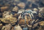 Tarantula spin, lage diepte van het veld — Stockfoto