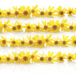 Yellow daisy line up — Stock Photo