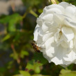 Stock Photo: Bee on white rose (chinensis rosa)