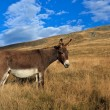 Donkey grazing — Stock Photo