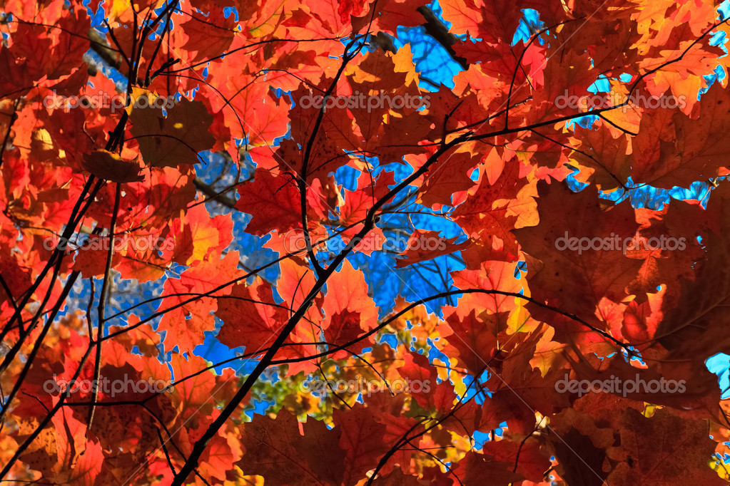 Autumn leaves on a background of blue sky  Stock Photo #7337943