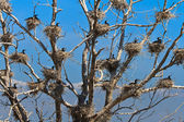 Cormorant nests in a tree — 图库照片