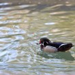 Mandarin Duck Drake (Aix Galericulata) — Stock Photo #7550041