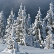Pine forest in winter — Stock Photo #7724736