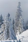 Floresta de pinheiros no inverno — Foto Stock