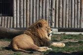 León descansando en el zoológico — Foto de Stock