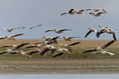 Pelicanos no delta do Danúbio — Fotografia Stock