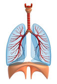 Lungs - pulmonary system. Rigth view, isolated on white — Stock Photo