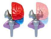 Beyin lobları ve beyincik, üzerinde beyaz izole önden görünüm — Stok fotoğraf