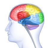 Brain lobe — Stock Photo