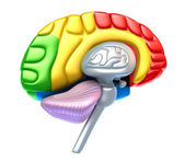 Brain lobes and cerebellum — Stock Photo