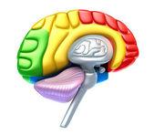 Brain lobes and cerebellum — Stock Photo