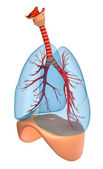 Lungs - pulmonary system. Perspective view, isolated on white — Stock Photo