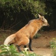 Maned wolf peeing - Stock Photo