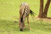 Zebra feeding — Stock Photo