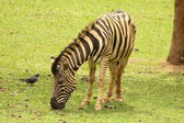 Zebra feeding — Stock Photo