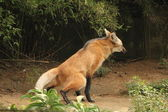 Maned wolf peeing — Stockfoto