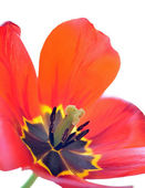 Open tulip — Stock Photo