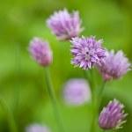 Schnittlauch Blüten — Stock Photo