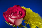 Rose - close up — Stock Photo