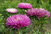 Flowering asters — Stock Photo