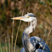 Grey heron — Stock Photo
