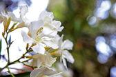 Oleander — Stock Photo