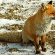 Wild red fox — Stock Photo #7803970