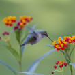 Stock Photo: Hummingbird