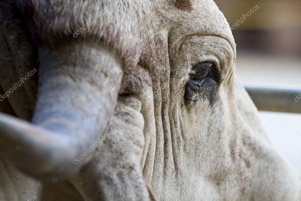 Close up of a Brahman bull in a pen wishing it was somewhere else. — Stock Photo #7346015