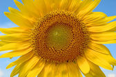 Sunflowers in the summer — Stock Photo