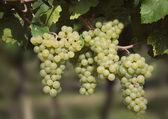 Uva chardonnay — Foto de Stock