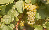 Uva Chardonnay — Photo